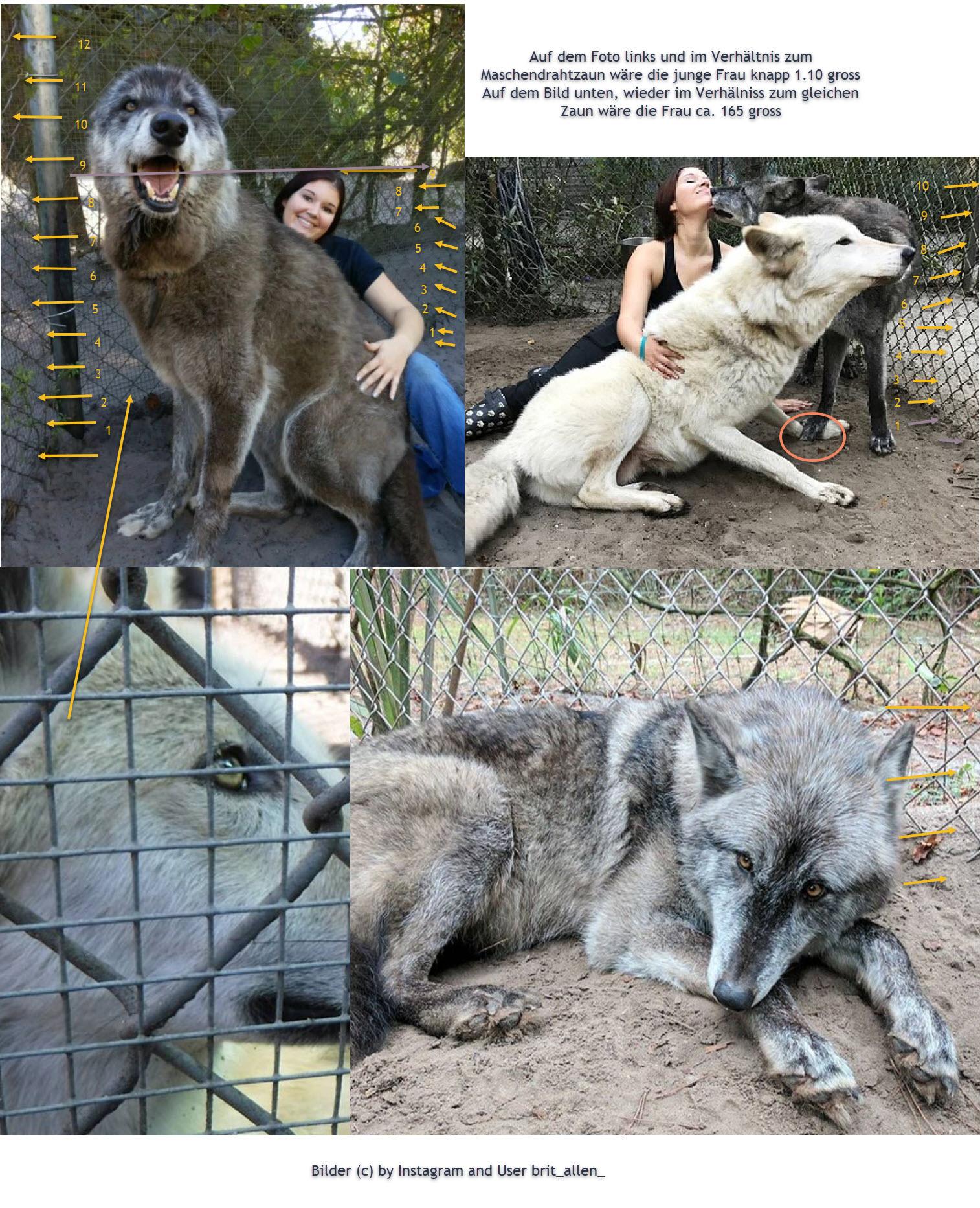 Wolfshund2