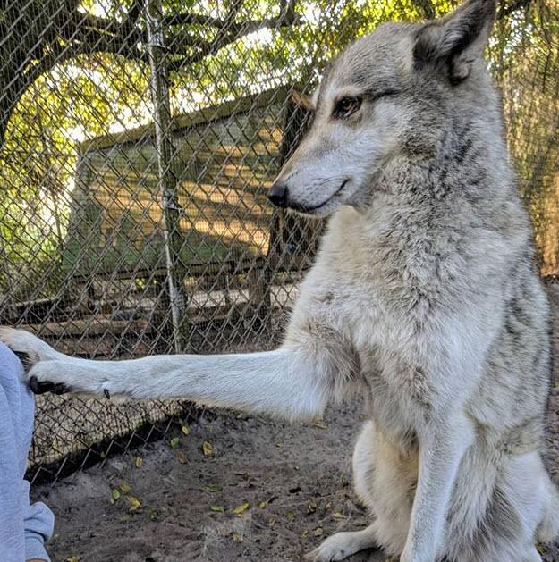 Wolfshund4